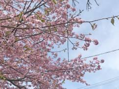 赤沢日帰り温泉館前のさくら咲いてます。