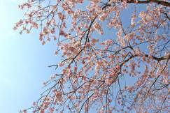 伊豆高原桜まつりの季節です。