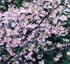 赤沢迎賓館の河津桜